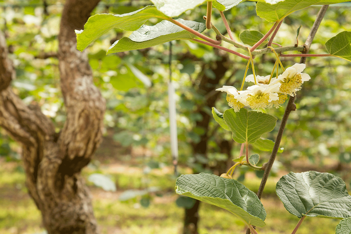 Kiwiplantacion
